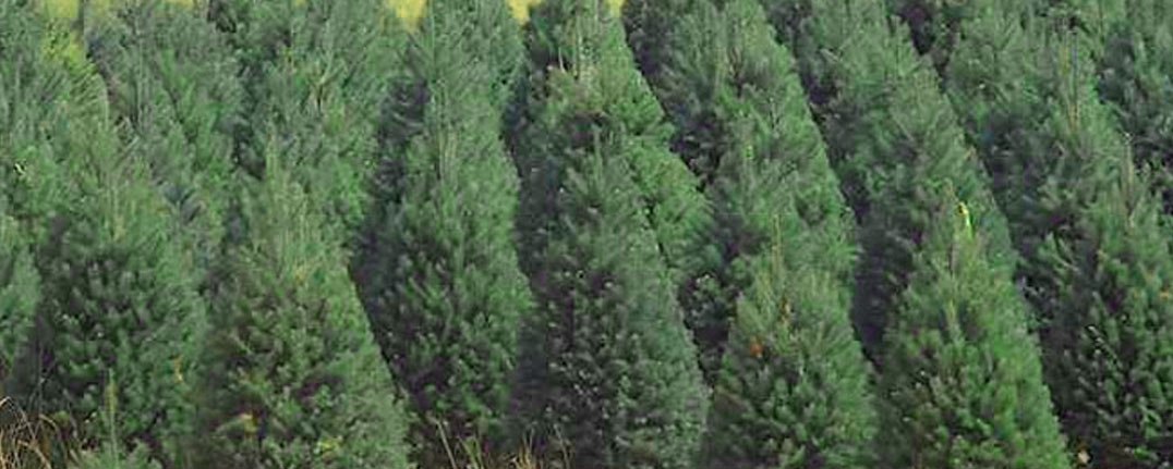 Christmas Tree Lot and Delivery to the Los Angeles Area