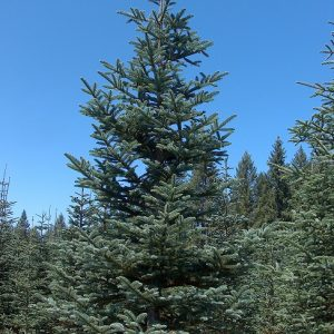 10' + Natural Noble Fir