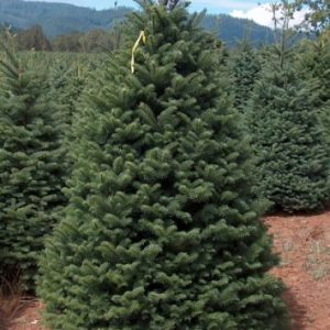 Noble Fir Christmas Tree in field