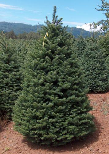 Noble Fir Christmas Tree in field