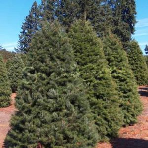 Douglas Fir Christmas Trees in Field