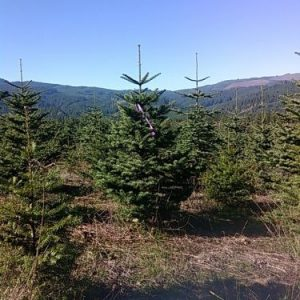 Natrual Nobel Fir Christmas Tree in field