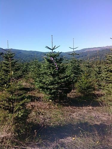 Natrual Nobel Fir Christmas Tree in field