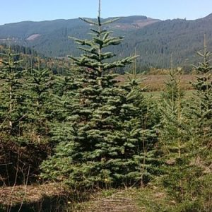 Natrual Noble Fir Christmas Tree in Field