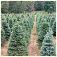 Noble Fir Christmas Tree Rows in Field