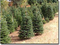 Nordmann Christmas Tree Field