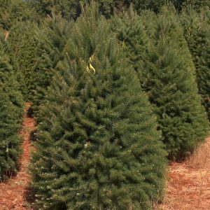 Douglas Fir Christmas tree in field