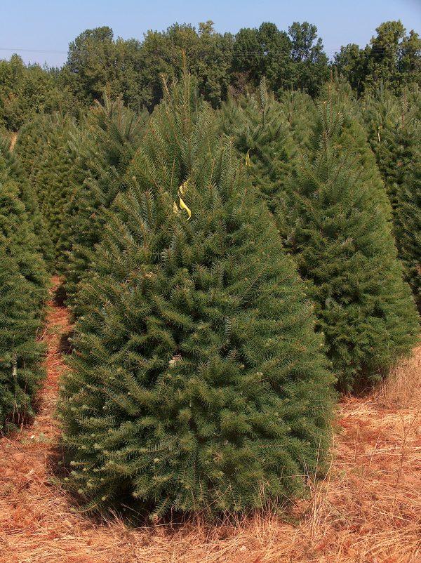Douglas Fir Christmas tree in field