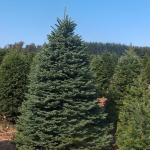 Douglas Fir Christmas Tree 7'